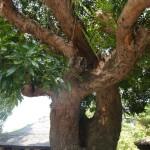 Pohon Ajaib yang dipercaya berasal dari dimensi lain